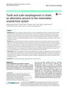 Tooth and scale morphogenesis in shark: an alternative process to the mammalian enamel knot system